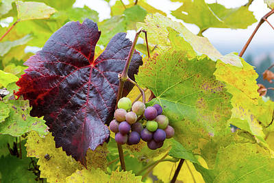 Photograph - Wine Grapes On Grapevines In Fall Season by David Gn