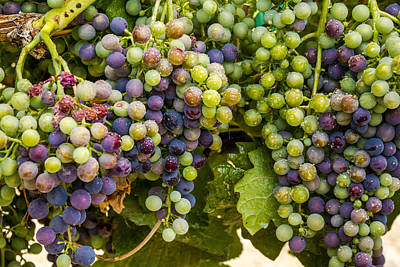Wine Grapes On The Vine Art Print by Teri Virbickis