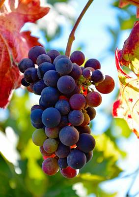 Photograph - Wine Grapes On Vine by Serena King