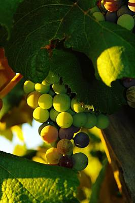 Wine Grapes Shaded By Leaves Art Print