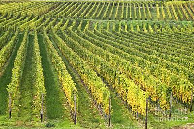 Grape Vine Photograph - Wine Growing by Heiko Koehrer-Wagner