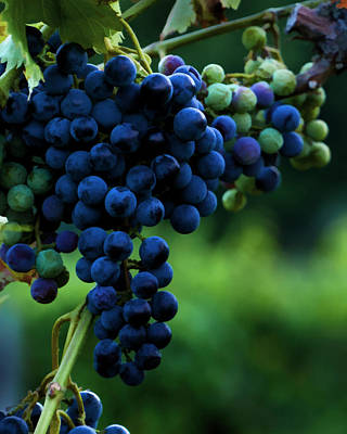 Blue Grapes Photograph - Wine On A Vine by Ann Bridges