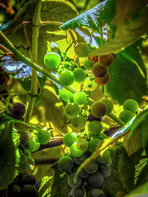 Photograph - Wine On The Vine by Mark Dunton