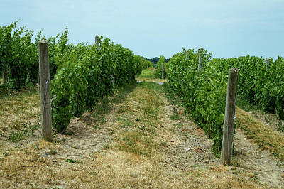 Wine Barrel Mixed Media - Winery Anyela's Vineyard Skaneateles New York Grape Plants 01 by Thomas Woolworth
