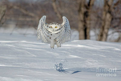 Photograph - Wing Action Owl by Cheryl Baxter