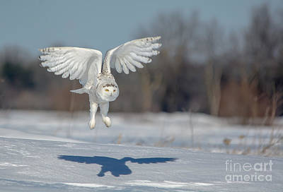 Photograph - Wing Feathers Snowy by Cheryl Baxter