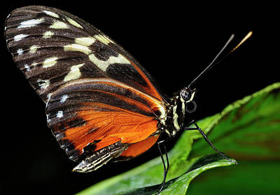 Insect Photograph - Wing Texture Of Eueides Isabella Longwing Butterfly On A Leaf Ag by Reimar Gaertner