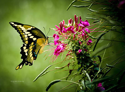 Blue Swallowtail Photograph - Winged Giant by DigiArt Diaries by Vicky B Fuller