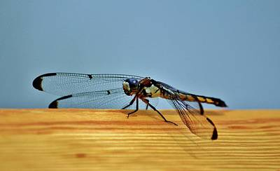 Photograph - Winged Insect by Cynthia Guinn