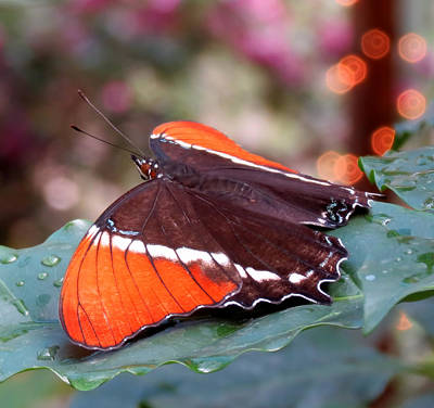 Photograph - Wings And Lights - Butterfly by MTBobbins Photography