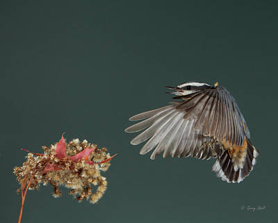 Photograph - Wings Down by Gerry Sibell