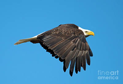 Eagle Photograph - Wings Down by Mike Dawson