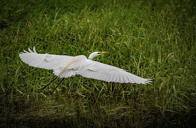 Photograph - Wings Extended by Ray Congrove