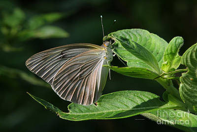 Photograph - Wings In Morning Light by Deborah Benoit