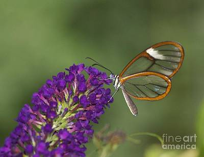 Wings Like Glass Art Print by Ruth Jolly