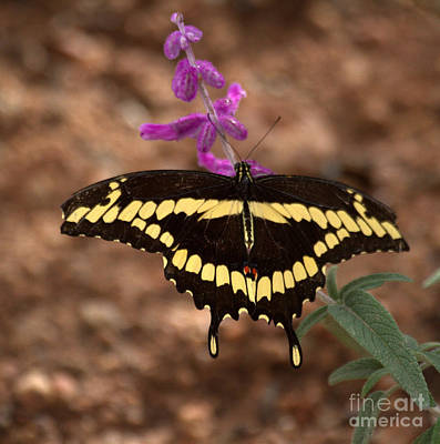 Photograph - Wings Of A Giant Swallowtail by Ruth Jolly