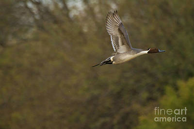 Birds Photograph - Wings Of A Pintail  by Ruth Jolly