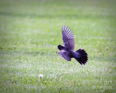 Photograph - Wings Of A Robin by Kerri Farley