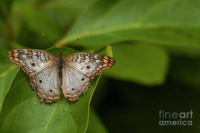Photograph - Wings Of A White Peacock Butterfly  by Ruth Jolly