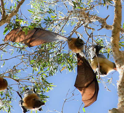 Photograph - Wings Of Fruit Bat by Miroslava Jurcik