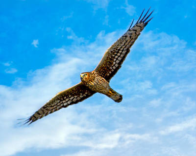Wings Of The Northern Harrier Art Print