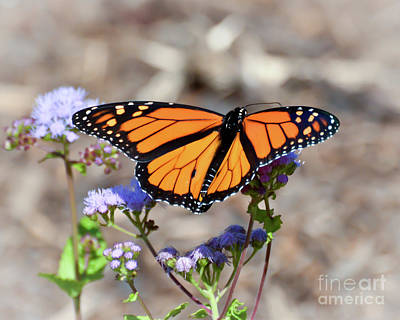 Photograph - Wings Of Wonder - Monarch Butterfly by Kerri Farley