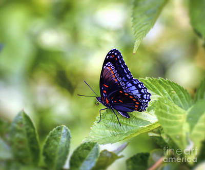 Photograph - Wings Of Wonder - Red-spotted Purple Butterfly by Kerri Farley