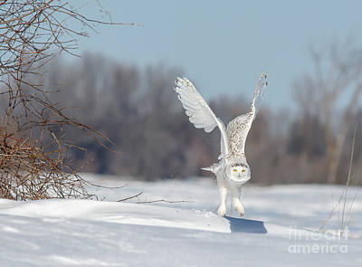 Photograph - Wings Raised Snowy Owl by Cheryl Baxter