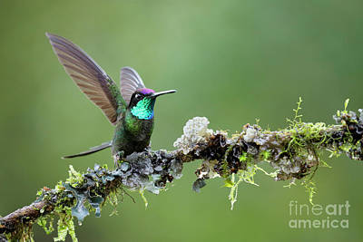Magnificent Hummingbird - Eugenes Fulgens Photograph - Wings Up by Juan Carlos Vindas