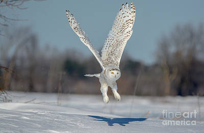 Photograph - Wings Up Snowy Owl by Cheryl Baxter