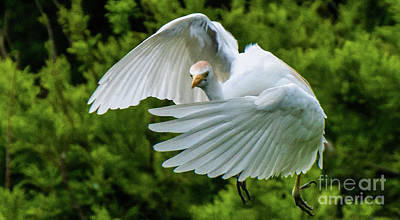 Photograph - Wings Wrapped Aroung A Cattle Egret by Vincent Billotto