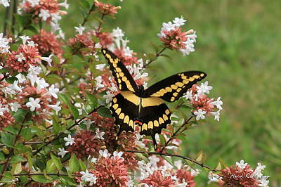 Photograph - Wingspan Giant Swallowtail by Reid Callaway