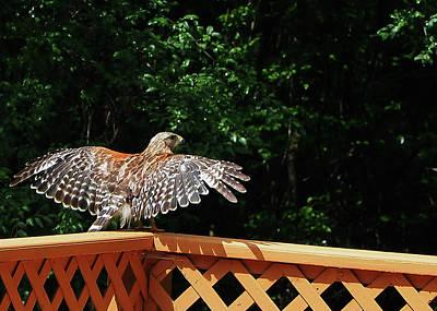 Photograph - Wingspan Of Hawk by Farol Tomson