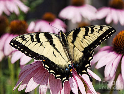Photograph - Wingspan Of The Male Yellow Eastern Swallowtail by Barbara McMahon