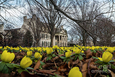 Photograph - Winter Aconite Museum View by Joann Long