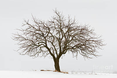 Photograph - Winter Apple Tree by Alan L Graham