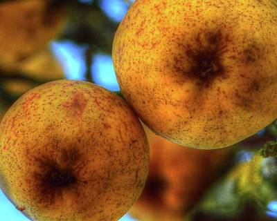 Photograph - Winter Apples 2 by Jerry Sodorff