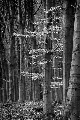 Photograph - Winter Beech by Inge Riis McDonald