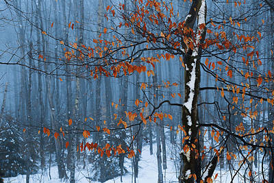 Photograph - Winter Beech by Tim Kirchoff