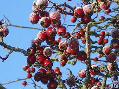 Photograph - Winter Berries 1 by Joanne Simpson