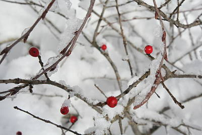 Photograph - Winter Berries by Aggy Duveen