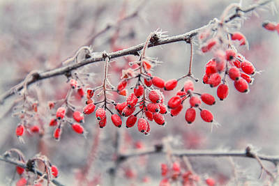 Western Art - Winter Berries by Betsy Armour
