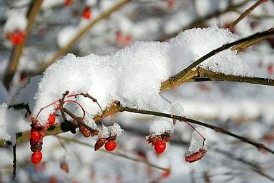 Photograph - Winter Berries by Cathy Hacker