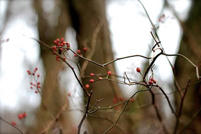 Photograph - Winter Berries by Tracy Male