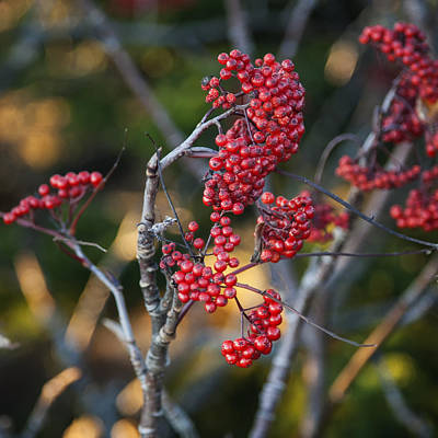 Photograph - Winter Berry Acadia Np Maine Img_6195 by Greg Kluempers