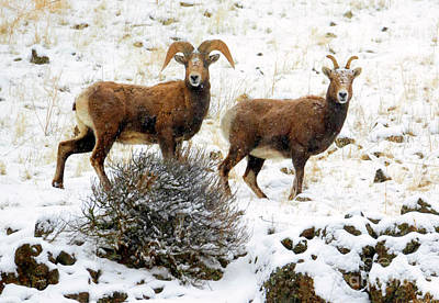 Bighorn Sheep Photograph - Winter Bighorn Pair by Mike Dawson