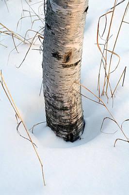 Winter Birch Art Print by Bill Morgenstern