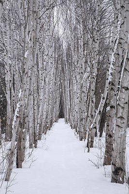 Photograph - Winter Birch Path by Chris Whiton