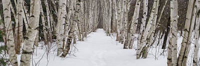 Photograph - Winter Birch Path Panorama Painting Version by Chris Whiton