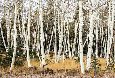 Photograph - Winter Birches by Gordon Ripley